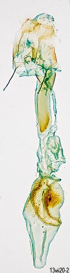 genitalia - Renia adspergillus - female