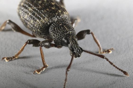 Root Weevil - Otiorhynchus sulcatus
