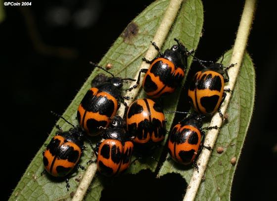 Swamp Milkweed Leaf Beetles - Labidomera clivicollis
