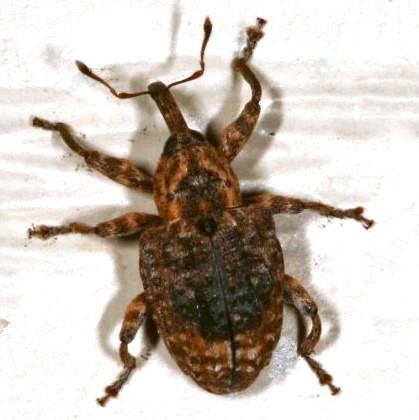 Weevil - Conotrachelus iowensis