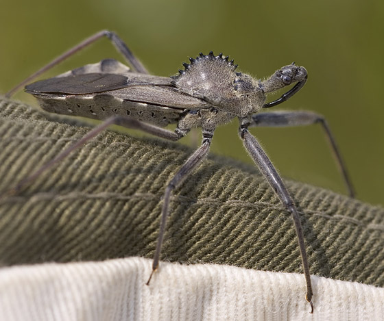 Wheel Bug - Arilus cristatus