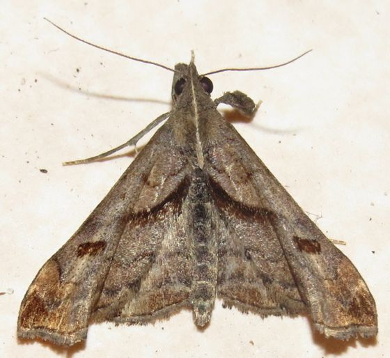 Dark-spotted Palthis - Hodges#8397 - Palthis angulalis