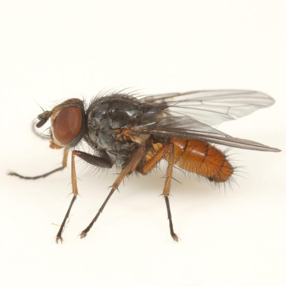 Pegomya pseudobicolor - male