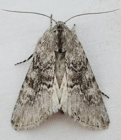 Supralathosea baboquivariensis - female