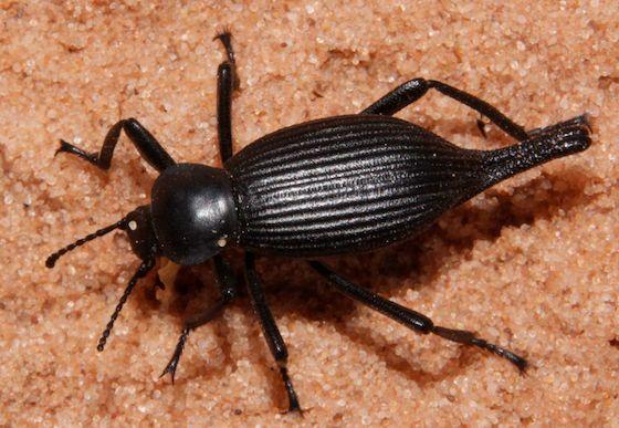 Darkling Beetle - Eleodes caudifera