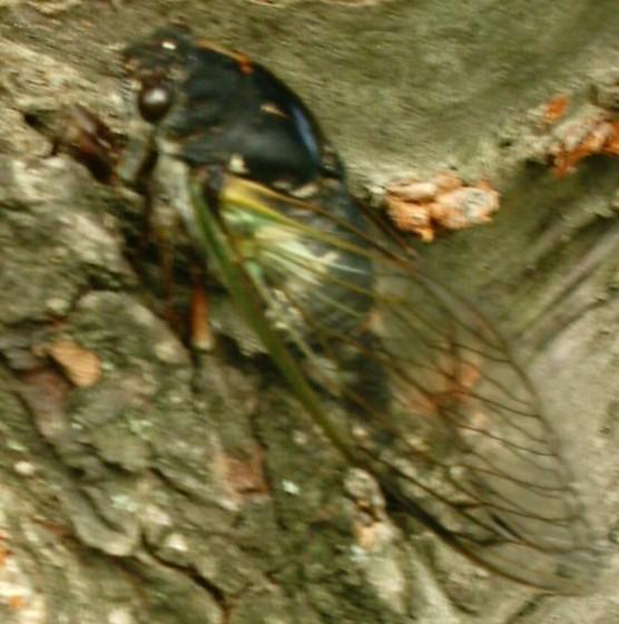 Tibicen lyricen var. engelhardti - Neotibicen lyricen - female