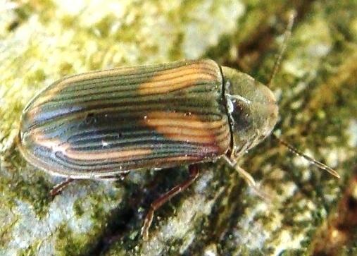 Death-watch Beetle - Vrilletta decorata