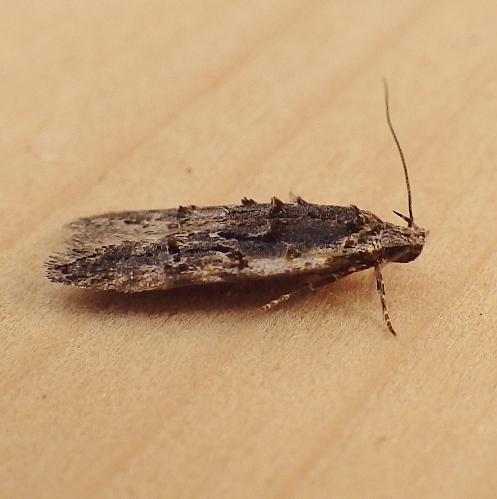 Gelechiidae: Xenolechia velatella? - Xenolechia