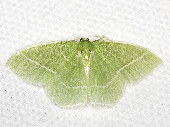 White-Fringed Emerald - Hodges#7048 - Nemoria mimosaria - male