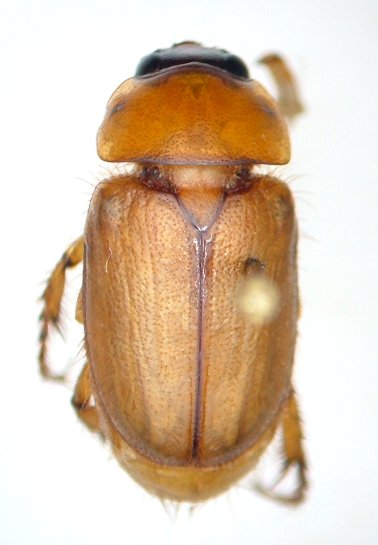 Cyclocephala borealis - male