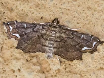 MothLygodiumDefoliator_Neomusotima_conspurcatalis09152015_MS_ - Neomusotima conspurcatalis
