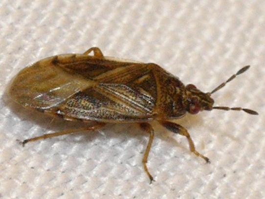 bug - Chilacis typhae