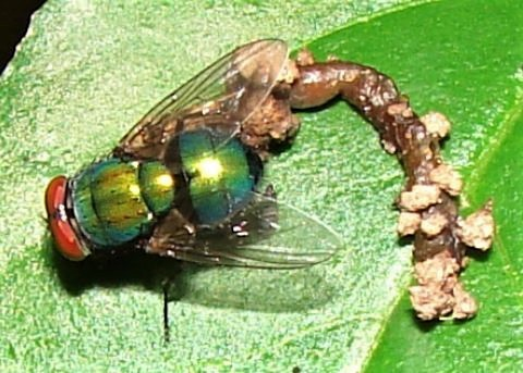 Blow Fly (?)  - Lucilia