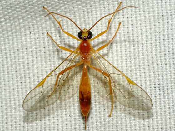 Ichneumon Wasp - Netelia