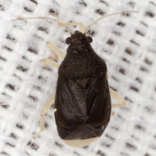 Plant Bug - Sixeonotus albicornis