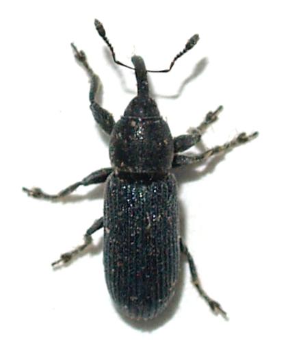 Weevil - Mecinus janthinus