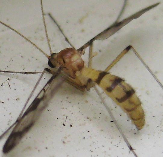 Macrocera - Macrocera formosa - female