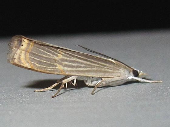 Hodges # 5450 - Graceful Grass-veneer Moth - Parapediasia decorellus