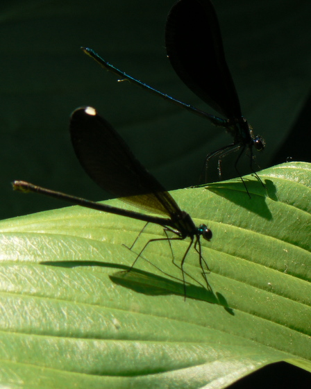 Ebony Jewelwings - ovipositor? - Calopteryx maculata - male - female