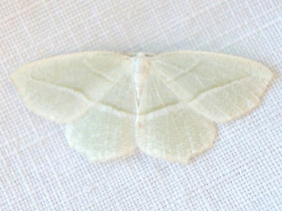 Hodges #6796 - Pale Beauty Moth - Campaea perlata