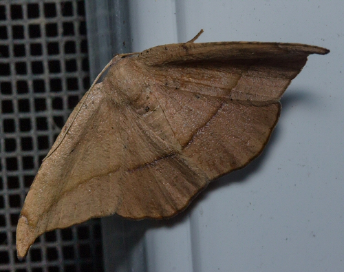 Geometrid Moth with dark brown line across wings - Patalene olyzonaria - female