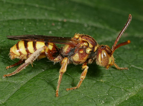 Cuckoo Bee8923 - Nomada imbricata - female