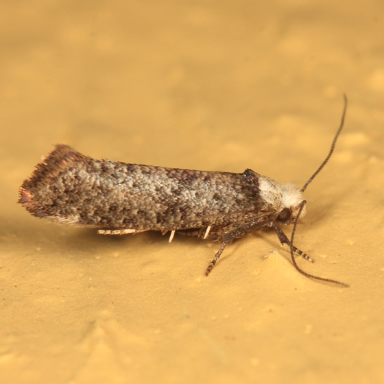 white-headed moth