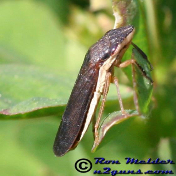 Homalodisca insolita - Phera insolita
