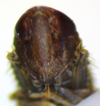 Scaphoideini or Deltocephalini? - Scaphytopius