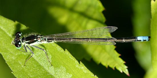 Eastern Forktail variant - Ischnura verticalis - male
