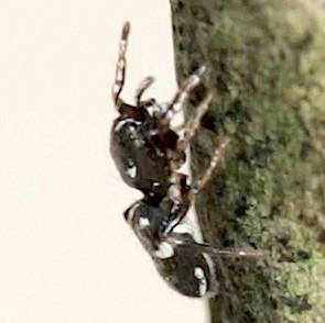 Jumping Spider - Hyetussa complicata - female