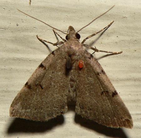 Mite on Moth? - Zanclognatha lituralis