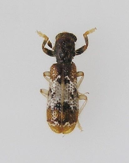 Beetle - Pelonium leucophaeum