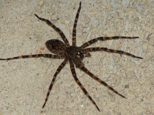 Large spider in Connecticut. - Dolomedes tenebrosus
