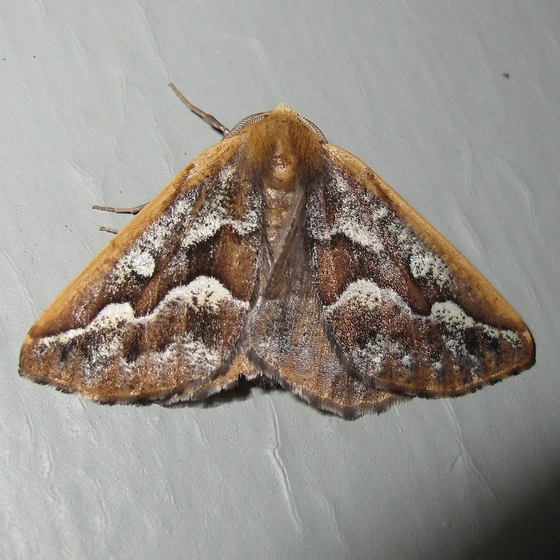 Hodges #6869 - Southern Pine Looper Moth - Caripeta aretaria