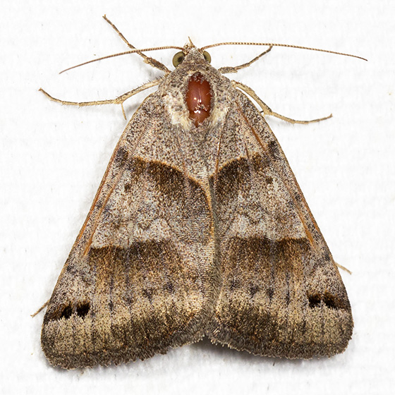 Clover Looper - Hodges#8738 - Caenurgina crassiuscula