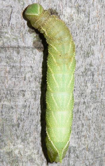 Confusing behavior - Paonias excaecata