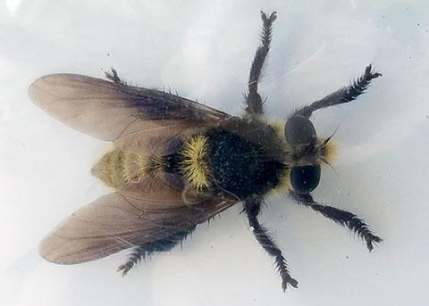 Fly - Mallophora fautrix