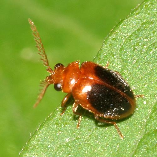 Comb antennaed little beetle - Prionocyphon discoideus - male
