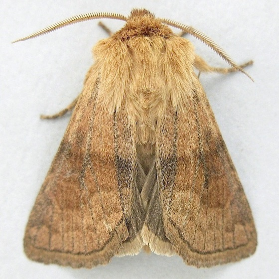 Bronzed Cutworm Moth - Nephelodes demaculata