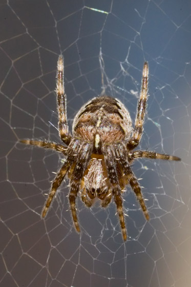 Araneus diadematus - Cross Spider - Araneus diadematus