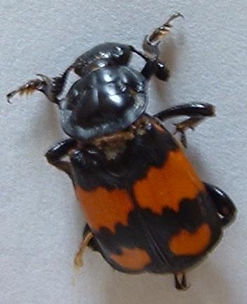 Black and orange bug - Nicrophorus defodiens