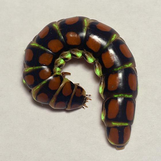 Glowworm!!! - Phengodes
