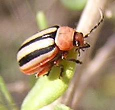 flea beetle, another view - Disonycha