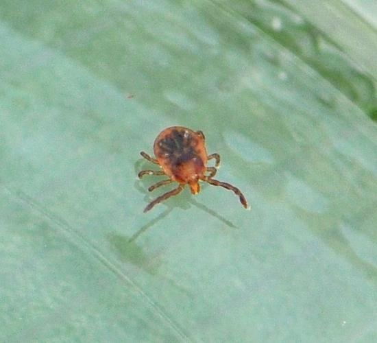 Lone Star Tick (Amblyomma americanum)? - Amblyomma