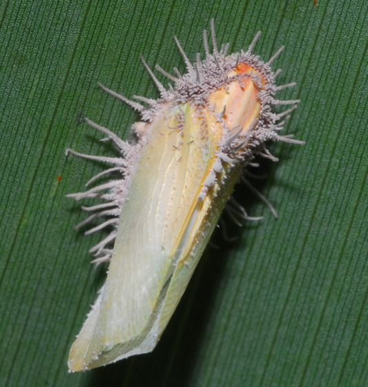 fungus - Ormenaria rufifascia