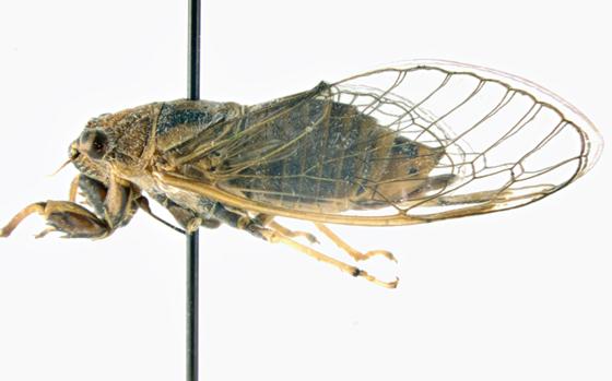 Cicadidae, lateral - Cicadetta calliope - female