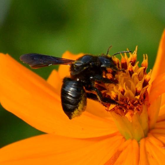 Bee - Megachile xylocopoides - female