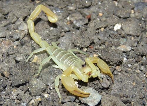 Hadrurus sp? - Smeringurus mesaensis