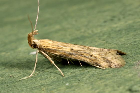Moth - Metzneria lappella